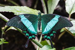 The Emerald Swallowtail (Explore 05/04/13) (Bob Decker) Tags: