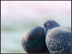 Love (davy timmermans) Tags: love animal kiss pidgeon duif davytimmermans