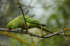 Immigrant (Nicolas Riveil) Tags: red wild sky tree green bird nature birds animal rose yellow canon fly is moss wings branch flight wing feather parrot ii parakeet l lichen 70200 ringed extender 2x