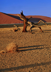 Morning in the Namib # 2 (Aubrey Stoll) Tags: africa travel trees sunrise landscape sand shadows desert footprints bluesky hills safari savannah sesriem namibia sanddunes namib brances tuftsofgrass