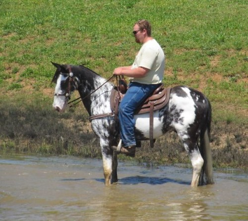Beautiful Black & White Trail Horse