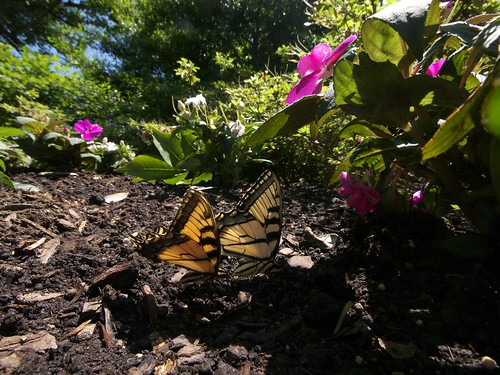 Eastern Tiger Swallowtails (Papilio glaucus)