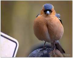 Fatso the Chaffinch (eric robb niven) Tags: macro cycling scotland wildlife pentaxkx wildbird glenlyon chaffinches ericrobbniven