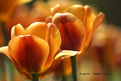 Sunshine (KM&G-Morris) Tags: red orange plant nature gardens tulips blooms springtime ontariocanada ibeauty niagarafallsarea naturethroughthelens