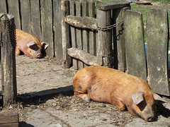 Pigs in a Row (John of Witney) Tags: shakespeare row tudor pigs elizabethan warwickshire stratfordonavon farmyard wilmcote maryardensfarm