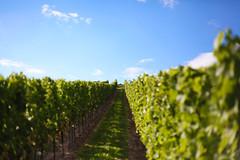 Bodenheim Weinberge (tausend und eins, fotografie) Tags: deutschland day hessen wine natur pflanzen himmel wolken sunny clear grn trinken sonne alkohol weg wein trauben glcklich weinberge unschrfe bodenheim