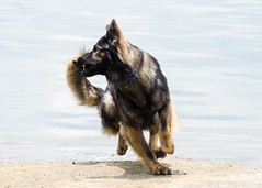 23/52 Kastle in Motion (falon_167) Tags: dog shepherd german gsd germanshepherddog kastle 52weeksfordogs