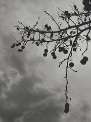 El ltimo invierno (Mishifuelgato) Tags: blanco negro black white arbol nikon d90 50mm 18 alicante el ultimo invierno muerto vejez filosofia