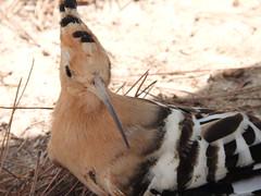 picchio (LeFotoDiCamilla) Tags: picchio uccello bird bosco colorato piume