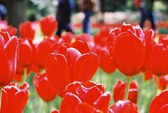 000001 (seustace2003) Tags: keukenhof nederland niederlande holland pays bas paesi bassi an sitr tulip tulp tulipan tiilip tulipa