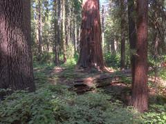 Calaveras Big Trees State Park (atgc_01) Tags: elph330hs chdk hdr sequoia california