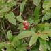Guaraná (Paullinia cupana)