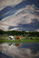 Grazing at the top of the world, Nubra Valley (Josh Niederauer) Tags: mountains water reflection nature animals brown nikon white india horse shadows valley pasture ladakh himalaya himalayas 28 grazing 70200 nubra sunny silkroad travel d800 horses leh vrii diskit