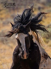 Washakie_Wild (jmthompsonphoto) Tags: mcculloughpeaks horses wild bureau land management blm wyoming hma herd
