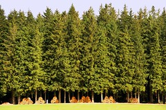 In a row (laura.foto) Tags: trees forest wood pines logs blackforest germany nature landscape