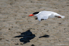 Caspian Tern with shadow (Bob Gunderson) Tags: birds california caspiantern crissyfield northerncalifornia presidio sanfrancisco sternacaspia terns