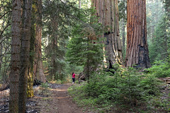 Sequoia Trees (WoutervanKootwijk) Tags: giant sequoia trees national park california