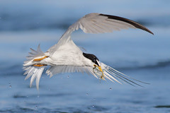 2fer (bmse) Tags: least tern bolsa chica fish fishing 2 two bmse salah baazizi wingsinmotion canon 7d2 400mm f56 l