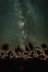 Girasoles de una noche de verano V (Job I) Tags: san adrin del valle leon castilla spain europe night long exposure milky way stars galaxy sky sunflowers astrophotography colours flowers plants mysterious alien space