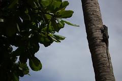 Costa Rica (jorge.cancela) Tags: costa rica guanacaste playa hermosa iguana lizard lagarto