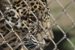 079_Great Cats Park_Jaguar (steveAK) Tags: greatcatsworldpark jaguar