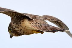 Searching. (pstone646) Tags: kestrel closeup nature wildlife fauna bird flight hunting kent elmley