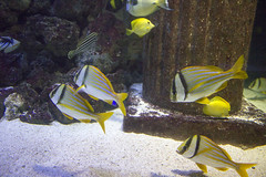 Fishies (Peter Storr) Tags: bluereef aquarium blue reef fish light water shining deep underwater undersea marine animals yellow black white ringed ring sand tank fishies north shields newcastle sunderland tyne wear