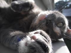 Josie. (~ MCJ) Tags: josie cat 10yo rescue greybluecreamtortoiseshell heartfailure fluidproblems
