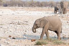 DSC_3881.JPG (manuel.schellenberg) Tags: namibia animal etosha nationalpark elephant