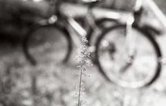Unknown (miriam.lonardi) Tags: pentaxmx pentax 35mm 35mmfilm 50mm 50mmlens 50mm17 film filmphotography filmisnotdead filmlover fiore bicicletta gita sfuocato allaperto primopiano forme