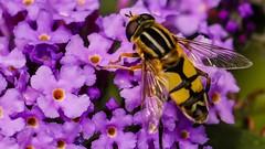 insect macro (Yasmine Hens) Tags: insect macro hensyasmine namur belgium wallonie europa aaa belgi belgia europe belgien  belgique blgica   belgie  belgio    bel be