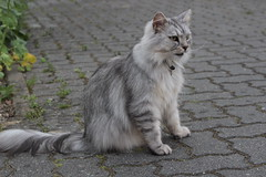 Laberkatze (Vasquezz) Tags: fussel katze cat sibirischekatze sibirische sibirisch siberiancat siberian сибирскаякошка сибирская кошка kittysuperstar bestofcats catmoments kittyschoice vg~catsgallery coth coth5