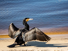 "Seriously if You Say ""Do You Fancy a Shag?"" One More Time... just... ONE ... MORE... TIME... ( monkeys with cameras (AKA Marx)) Tags: shag piedshag piedcormorant"