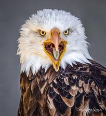 Bald Eagle (ZWQphotos) Tags: bald eagle bird raptor majestic feathers beak fierce eyes