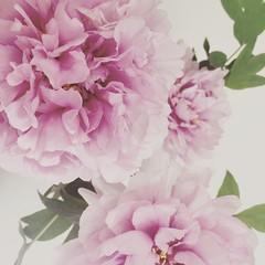 Flower (letkata) Tags: nature beautiful hungary pink peonias flower
