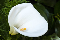 White color for mental clarity and clean beginnings. (dorablancoheras) Tags: flor flower blanco white nature naturaleza light luz alive vivo summer verano bridal curves curvas galicia outside exterior verde green inocence trust yellow amarillo jardn garden canonphoto eosm3