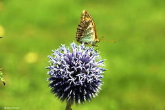 Butterfly on Echinops  [Explore August 25, 2016] (Marco Ottaviani in the mountains with little acces) Tags: natura nature fiori flowers echinops farfalla butterfly sole sun canon marcoottaviani