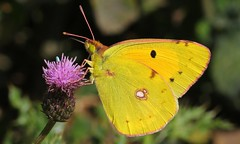 Clouded Yellow 290816 (3) (Richard Collier - Wildlife and Travel Photography) Tags: wildlife naturalhistory insects butterflies british macro cloudedyellow yellow ngc npc