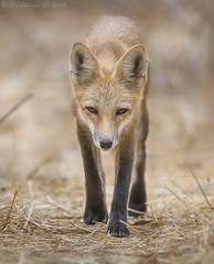 Red Fox (Ken Phenicie Jr.) Tags: redfox coyotehills