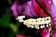 pollen ball cluster (donjuanmon) Tags: allergies pollen ball hibiscus theme cliches closeup clichesaturday hcs donjuanmon flower macro petals