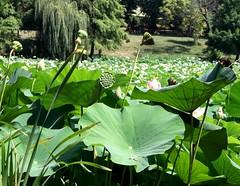 More views from heaven (Soror Mystica) Tags: lotus lotusleaves flowers nelumbonucifera lake