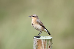 Wheatear (NickWakeling) Tags: wheatear norfolk nature horsey birds wildlife canon60d sigma150600mmf563dgoshsmcontemporary
