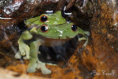 Litoria chloris (benrevell86) Tags: litoria southernorangeeyedtreefrog litoriachloris frog