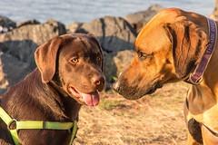 Milo and Thembi (TonyinAus) Tags: animal pet dogs