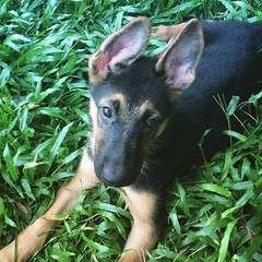 Chillin'  #Enzo #Puppy #Alsatian #germanshepherd #Grass #Cute #HoiAn #Vietnam #PeterFord8 #ConflictCreation (Makaveli 8) Tags: conflictcreation peterford8 vietnam hoian grass dog germanshepard alsatian puppy enzo instagramapp square squareformat iphoneography perpetua