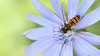 Marmalade Hoverfly ( Episyrphus balteatus ) (steve whiteley) Tags: insect wildlife nature hoverfly marmaladehoverfly episyrphusbalteatus