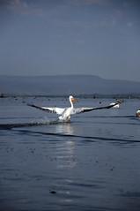 Let's fly (jhderojas) Tags: kenia lake nakuru pelican