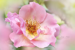 Rosa 'Summer Wine' (Jacky Parker Floral Art) Tags: rose rosa summerwine flower pink closeup macro horizontalformat selectivefocus focusonforeground outdoors nopeople beautyinnature summerflowering climbingrose shrub freshness fragility softness feminine flowerphotography floralart macrophotography naturephotography nikon uk