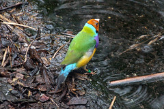 Gouldian Finch (NTG's pictures) Tags: taronga zoo sydney gouldian finch