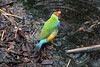 Gouldian Finch (NTG1 pictures) Tags: taronga zoo sydney gouldian finch